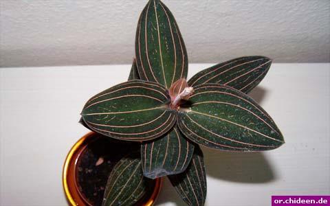 juwelorchidee (ludisia discolor)