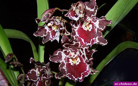 die pflege von odontoglossum margarethe holm orchidee. Black Bedroom Furniture Sets. Home Design Ideas