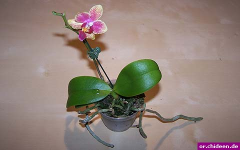 phalaenopsis. Black Bedroom Furniture Sets. Home Design Ideas