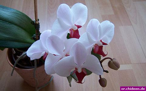 phalaenopsis hybrid (blüte)