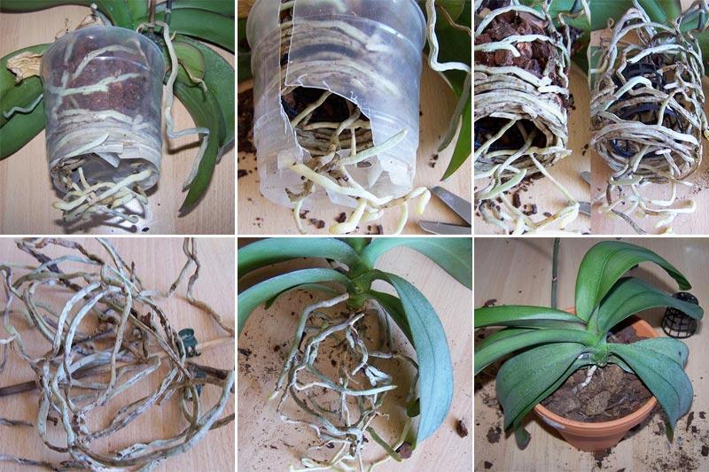 Phalaenopsis umtopfen