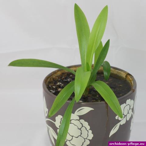 spiranthes odorata wasserorchidee