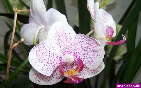 orchideen bestimmen. Black Bedroom Furniture Sets. Home Design Ideas