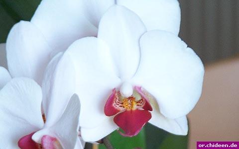 phalaenopsis weiss