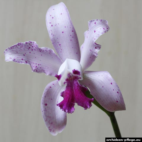 cattleya interglossa