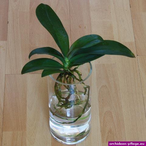 phalaenopsis im glas