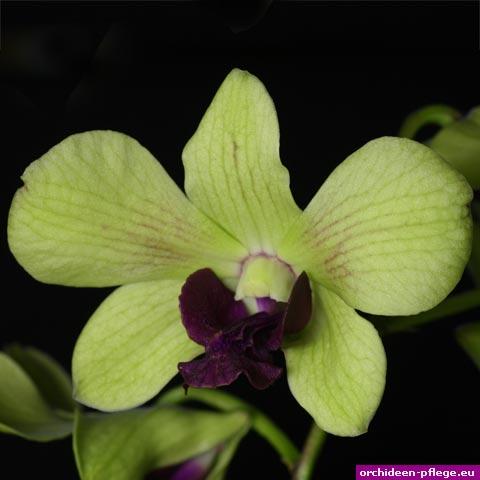 dendrobium anna green orchideen pflege. Black Bedroom Furniture Sets. Home Design Ideas