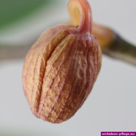 phalaenopsis knospe