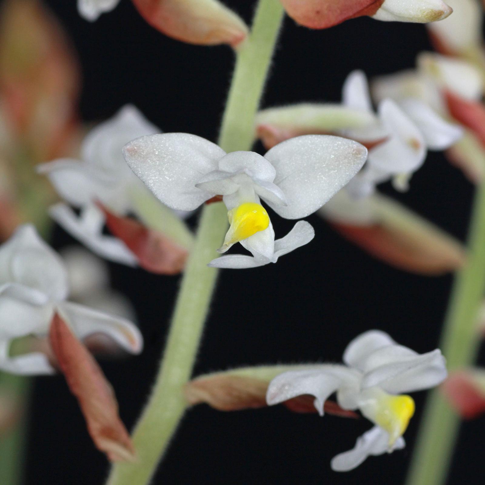 Juwelorchidee Blüten