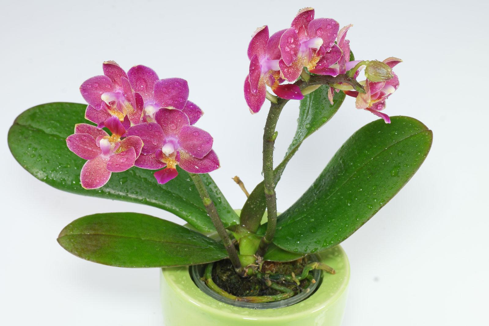 Mini-Phalaenopsis