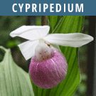 Cypripedium